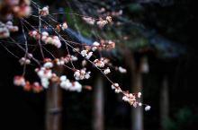 武夷山攻略,沏一壶茶,赴一场梅花之约
