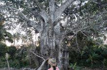 在桑岛发现的猴面包树,怎么和马达加斯加的不太一样