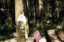 台湾阿里山的树木