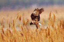 大庆龙凤湿地拍得鸟