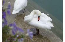 阿讷西湖畔悠悠的午后时光----优雅天鹅与待哺的鸟儿