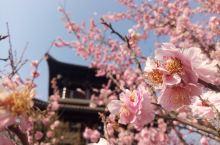 淮南D1,美丽的赏花回忆