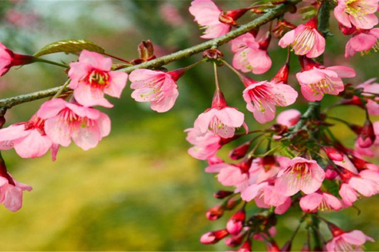 Guiyang Cherry Garden1