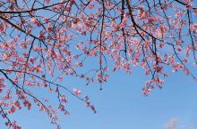 伊豆的河津樱已散尽?还可以走一走这条绝美的樱花隧道