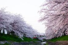 奈良不只有小鹿~来跟我看樱花吧~