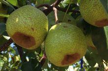 莱阳梨园中的梨王树