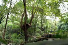 一日游 大熊猫繁育研究基地看熊猫
