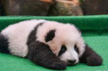 """成都打卡地""""大熊猫繁育研究基地"""""""