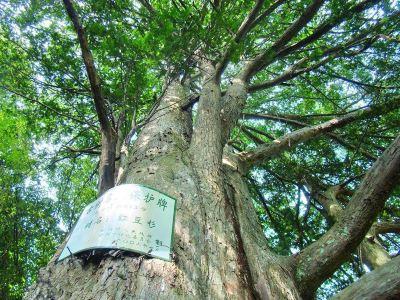岑溪珍稀植物紅豆杉
