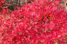 日本青森弘前公园红叶似火