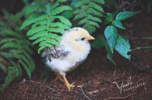 夏威夷·欧胡岛森林里的一只小鸡