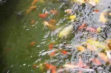 豫园门前的鱼和龟