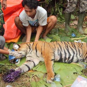苏门答腊游记图文-走进苏门答腊岛原始森林,朱丹《丹行线》亲历野生动物生死救援
