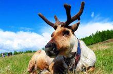 秋季的另一种玩法,提前去北极村喂养驯鹿拍九曲十八弯