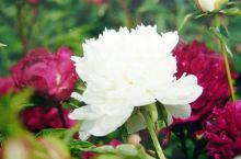 雍容华贵的牡丹圣地&春游好去处——曹州牡丹园