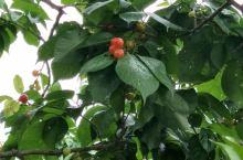 樱桃、桑葚都熟透了!