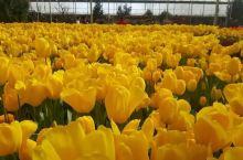 汾河源花境 春初的郁金香花开正浓 这里的郁金香花种非常齐全 规模很大 第5展厅有农家乐可以吃到当地美