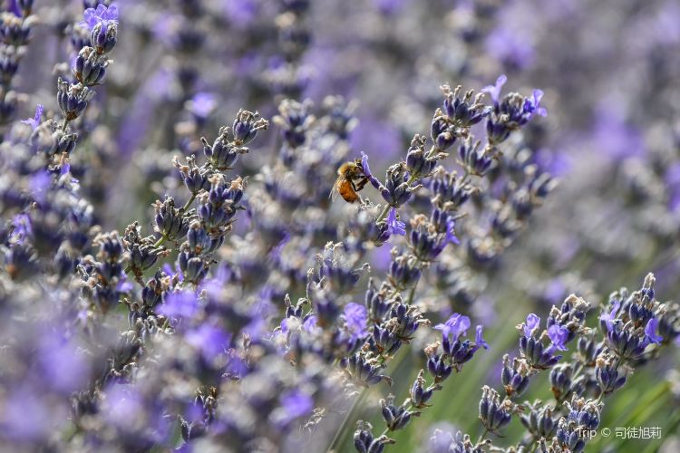Bridestowe Lavender Estate1
