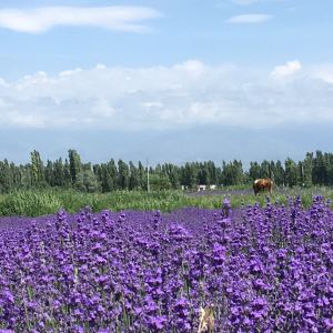 霍城薰衣草旅游景点攻略图