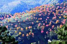 中国最早的樱花开了!秒杀日本美若仙境,还免门票!