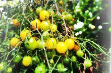 【呼伦贝尔行】库里乔维生态采摘园:果蔬大棚里的餐厅