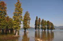 四明湖水杉林