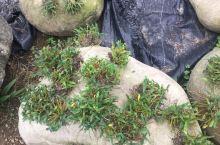 这是真正的霍山石斛!