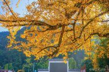 浙江衢州,不要以为只有根雕和开化青蛳,这个银杏泛黄民宿扎堆的村子才是你的菜
