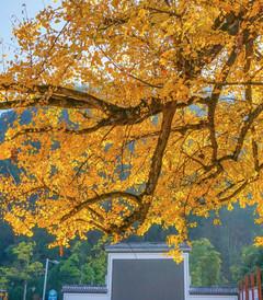 [开化游记图片] 浙江衢州,不要以为只有根雕和开化青蛳,这个银杏泛黄民宿扎堆的村子才是你的菜
