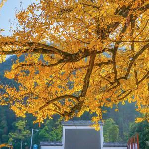 开化游记图文-浙江衢州,不要以为只有根雕和开化青蛳,这个银杏泛黄民宿扎堆的村子才是你的菜