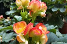 丽格海棠,母亲节捧花的新宠