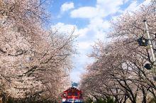 樱花的海洋-开往春天的列车(镇海)