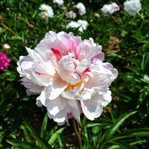 和林格尔游记图文-芍药花开 美到窒息