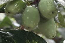 澳大利亚向导带你游32~小东江植物篇