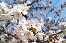 4月份的韩国 樱花特别漂亮