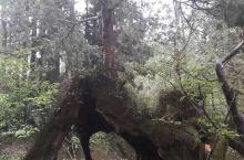 阿里山之神木