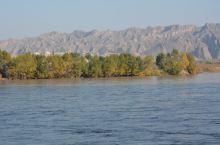 黄河对岸的杨树林