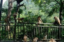 黔灵山的猴子🐵