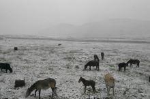 八月飞雪海子拉山,牛羊遍地毛哑草原