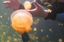 全世界唯一的无毒水母湖