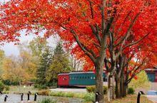 大鹅带路走到红叶树下