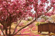 """""""色彩斑斓,花团锦簇的五月,浪漫滨城行——二0三樱花园"""""""