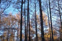 金秋,我在莫尔道嘎——大兴安岭落叶松林