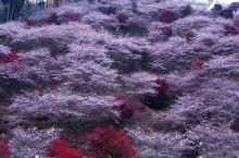 秋天去日本看红叶,同时还能赏樱花,你知道吗?