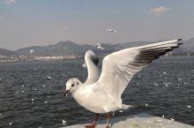 昆明:红嘴鸥第二故乡