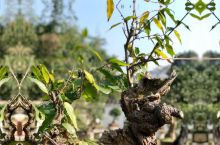 黄果树精品盆景园