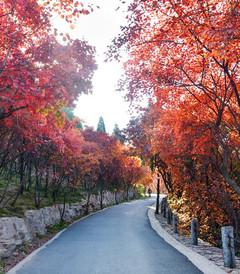 [济南游记图片] 万山红遍,层林尽染 —— 红叶谷