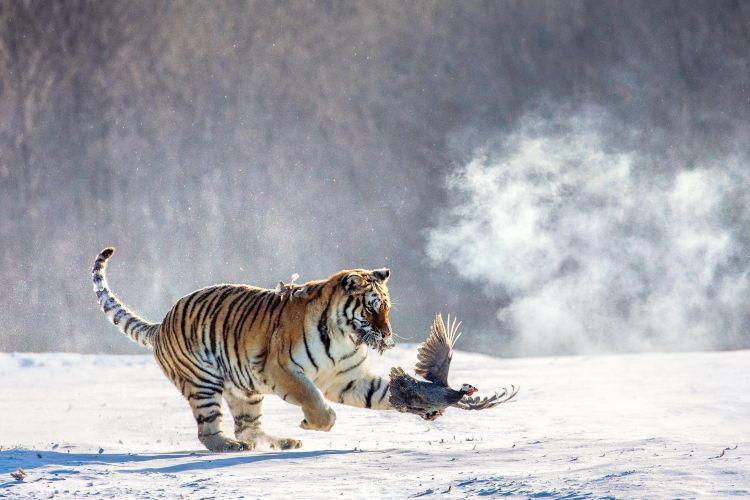 Hengdaohezi Siberian Tiger Park