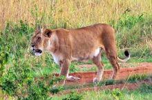 马塞马拉,横跨肯尼亚和坦桑尼亚。塞伦盖蒂草原,每年7-10月都上演,动物大迁徙的场面。草原上,花豹妈