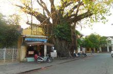 会安古城的大树